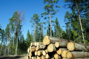 Timber stack of whitewood
